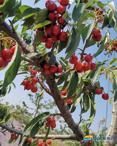 邯郸市户村镇郊野生态观光园《樱桃熟了》