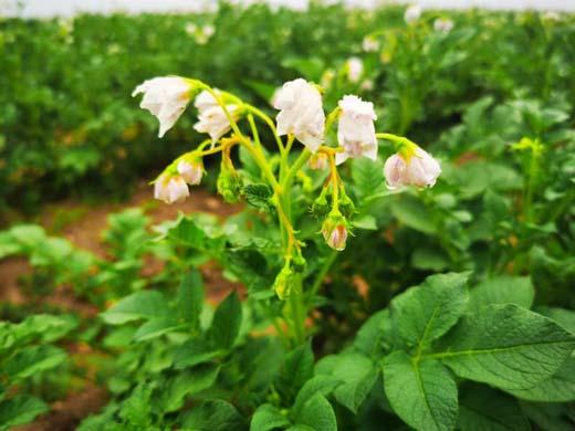 """大同平城区马铃薯种植示范基地8月将收获源头守护百姓""""菜篮子"""""""