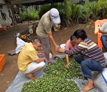 海南槟榔成为农民的摇钱树