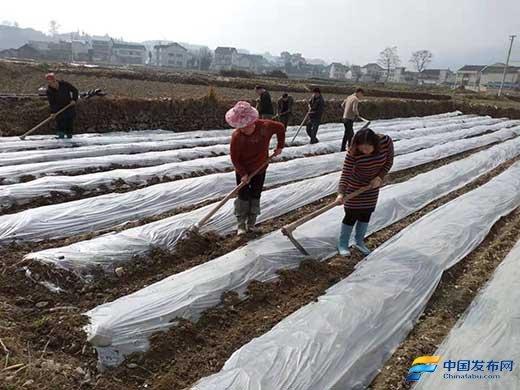 贵州省黄平县草芦坪村马铃薯都穿上了保暖衣