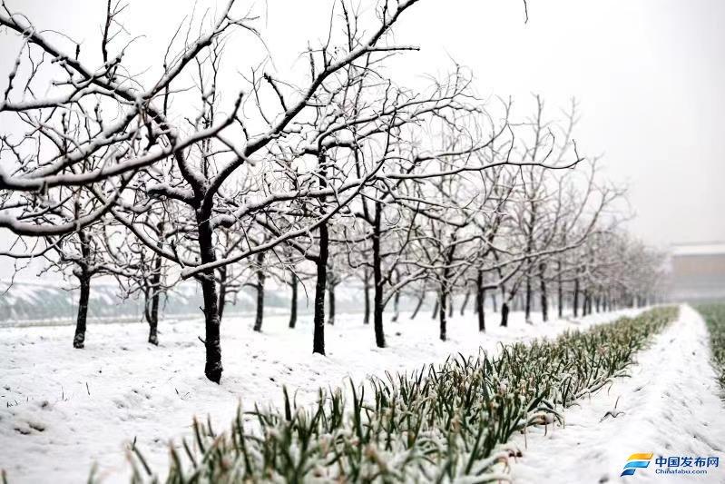 山西夏县:瑞雪兆丰年,战寒护瓜秧