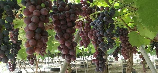 天津乐农合作社有片美丽的葡萄园