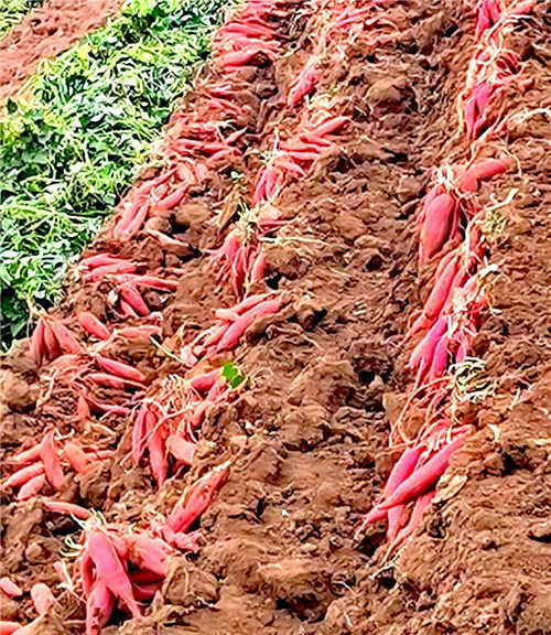 宝鸡市凤翔区虢王镇万亩优质红薯开垄采挖