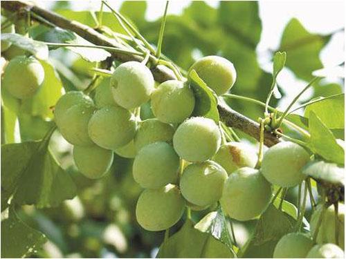 四川省内最大银杏种植基地丰收在望发