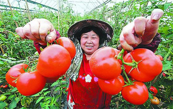 左权县芹泉镇积极发展设施蔬菜产业