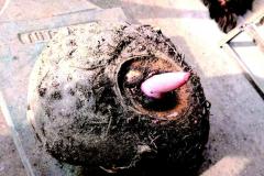 南江县关田乡东坝村村民挖出大魔芋重达31斤