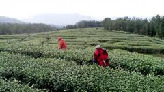 四川省通江县首批春茶正式开采